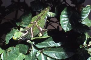 Fiji - iguana al Kula Eco Park