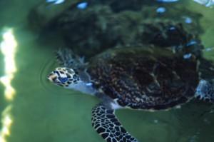 Fiji - tartaruga al Kula Eco Park
