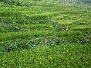 Vietnam - Sapa - campi di riso