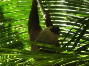 America Centrale - Panama - Bocas del Toro - bradipo