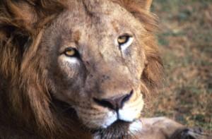 Tanzania - Ngoro Ngoro - leone