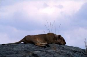 Kenya - Masai Mara - leonessa