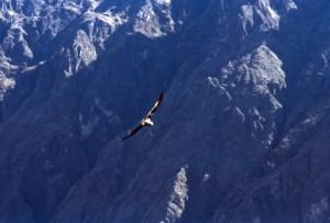 Peru - condor andino - Canyon del Colca