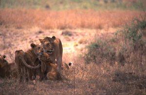 lion s family kenya tanzania 300x197 - Tanzania - una terra magica