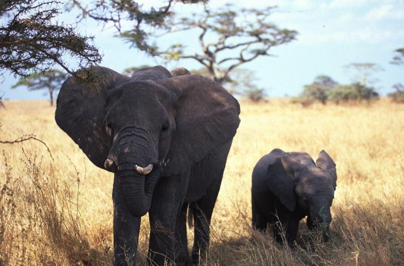 elefanti tanzania