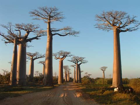Avenue de Baobab - Morondava, Madagascar