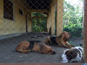 Congohound