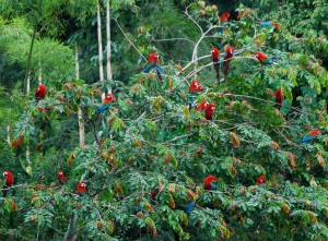 Red-and-Green-Macaws-DO-grow-on-trees-in-the-Amazon
