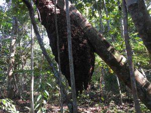 alveare in foresta - Rio Negro - Amazonas