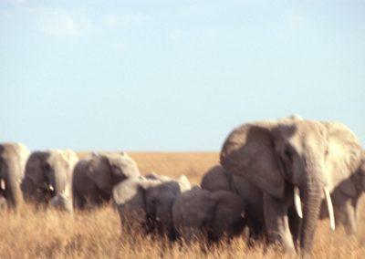 A long Walk - Family of Elephants - Serengeti National Park - Tanzania
