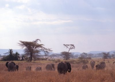 Big Family of Elephants - Serengeti National Park - Tanzania