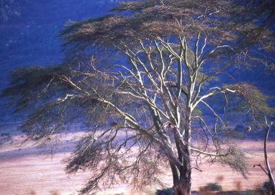 Big Tree - Serengeti National Park - Tanzania