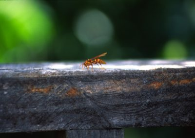 Big Wasp - trek around Suchitoto - El Salvador, Central America