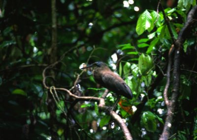 Bird - Tortuguero National Park - Costa Rica, Central America