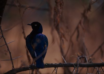 Blue Bird - Serengeti National Park - Tanzania