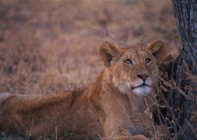 Boy or Girl - Lion - Ngorongoro Conservation Area - Tanzania