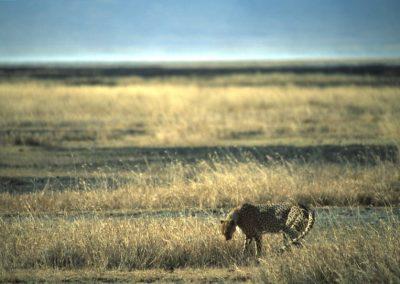 Cheetah - N'Goro N'Goro National Park - Tanzania