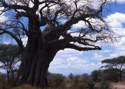Clouds and Big Tree in Serengeti National Park - Tanzania