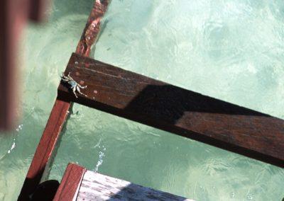 Crab - Fiji, Samoa