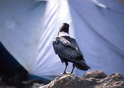 Crow - Raven - Last Base Camp - Kilimanjaro Trekking - Tanzania