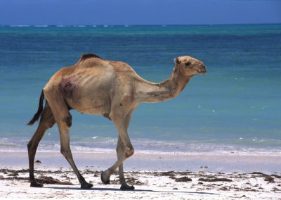 Dromedary on the Beach - Zanzibar, Tanzania