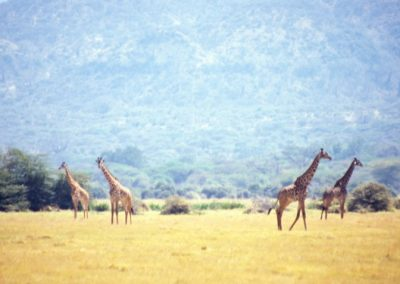 Four Giraffe - Masai Mara National Reserve - Kenya