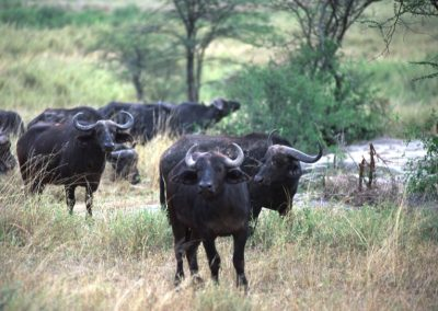 Herd of Buffalo - Serengeti National Park - Tanzania