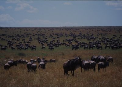 Herd of Wildebeests - Maasai Mara National Reserve - Kenya