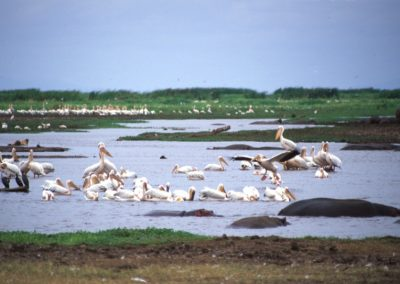 Hippos and Pelicans - Lake Manyara National Park - Tanzania
