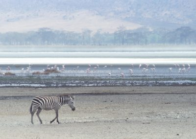 Lonely Zebra and Flamingos - N'Goro N'Goro National Park - Tanzania
