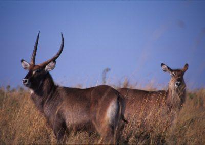 Male and Female Bucks - Maasai Mara National Reserve - Kenya