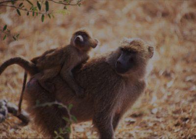 Mother and Son - Baboons - Lake Manyara National Park - Tanzania