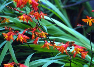 Orange Flowers - Ireland