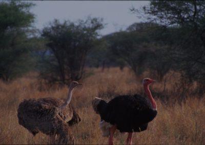 Ostriches - Lake Manyara National Park - Tanzania
