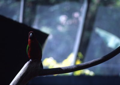Scared Parrot - Kula Eco Park - Viti Levu - Coral Coast - Fiji