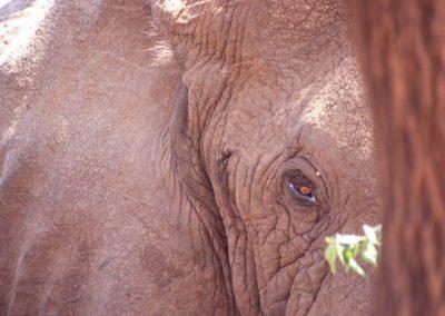 Shy Elephant - Masai Mara National Reserve - Kenya