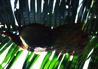 Sloth - Bocas del Toro - Panama, Central America
