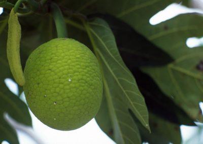 Strange Fruit - Fiji, Samoa