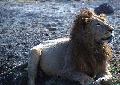 The King - Male Lion - Ngorongoro Conservation Area - Tanzania