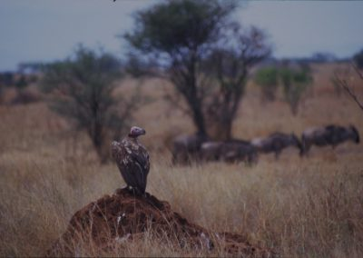 Vulture Waiting - Serengeti National Park - Tanzania