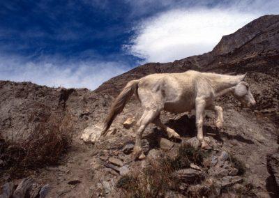 Wild Donkey - Nepal