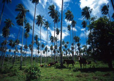 Wild Horses - Fiji, Samoa