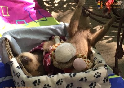 Baby sloths 2 - Jaguar Rescue Center - Puerto Viejo, Costa Rica