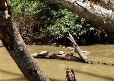 Turtles - La Macarena district, Colombia