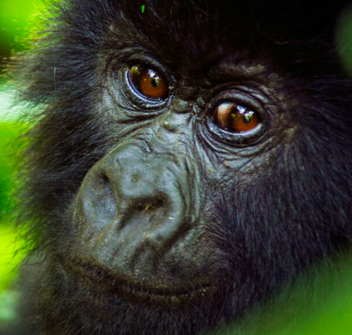 Baby Mountain Gorilla - Virunga DRC
