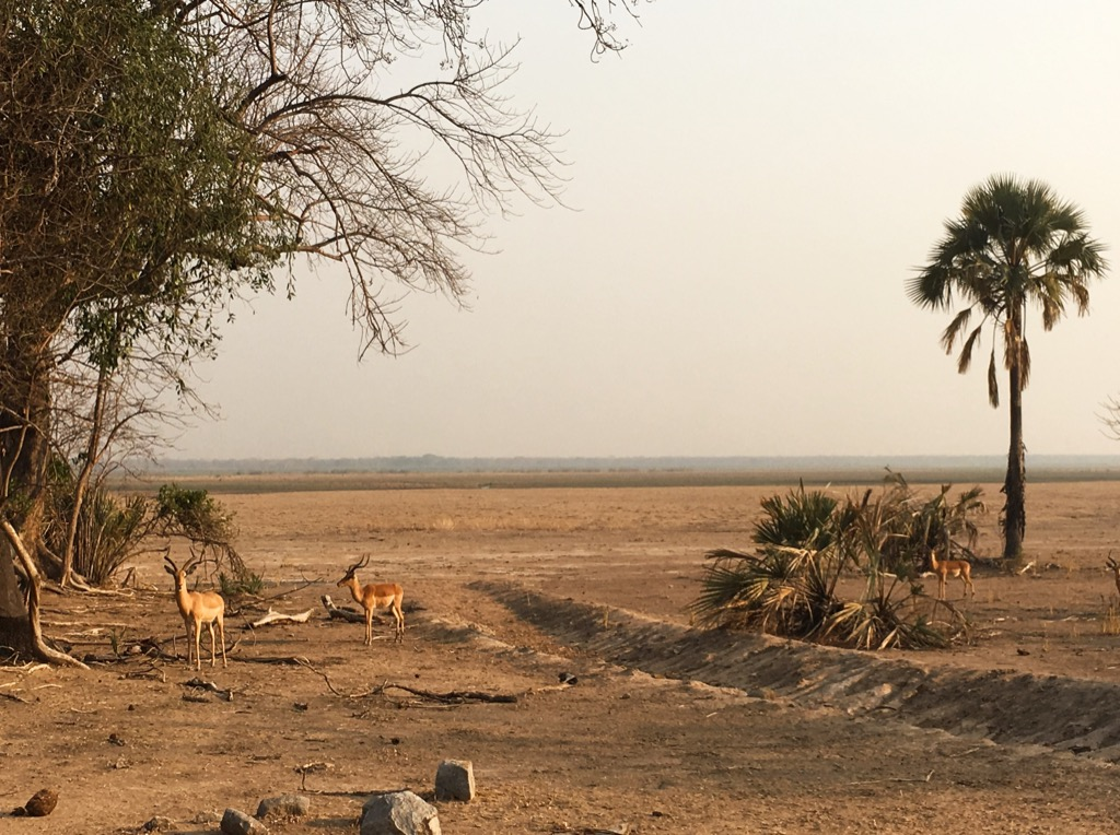 Impalas in the Liwonde National Park Malawi - Liwonde National Park Malawi