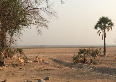 Anthelops - Liwonde National Park