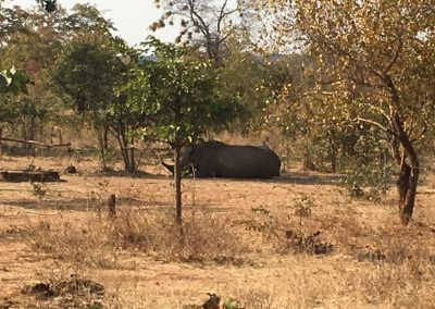 Big Rhino in Zambia
