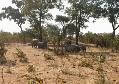 Big rhino's family in Zambia