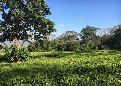 Big tree and tea plantation - Mulanje - Malawi